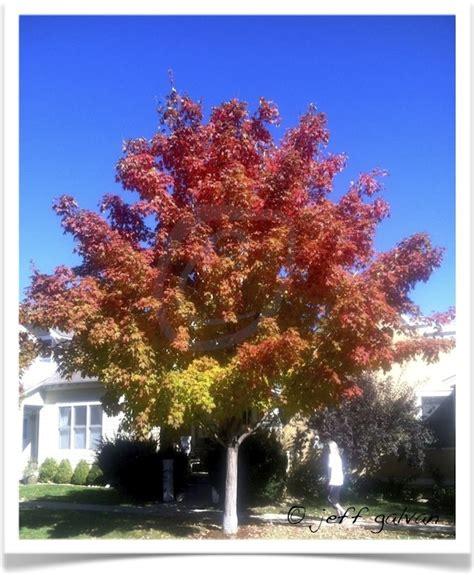 sugar maple tree identification identifying acer saccharum