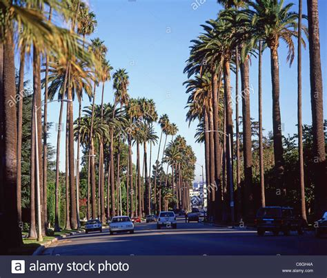 live trees los angeles palm trees along boulevard beverly los angeles