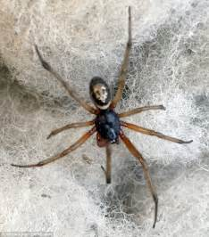 Garden Spider False Widow False Widow Spider Bite Leaves Lorry Driver With