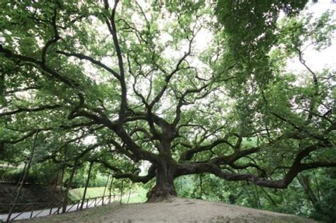 trees in italy the oak tree of pinocchio becomes a national monument