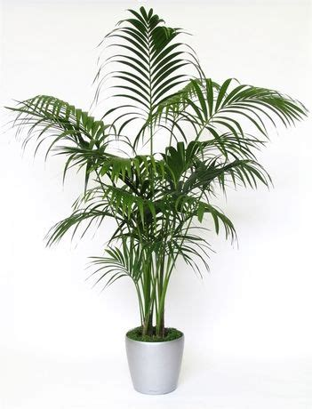 indoor palm best 20 indoor palm trees ideas on