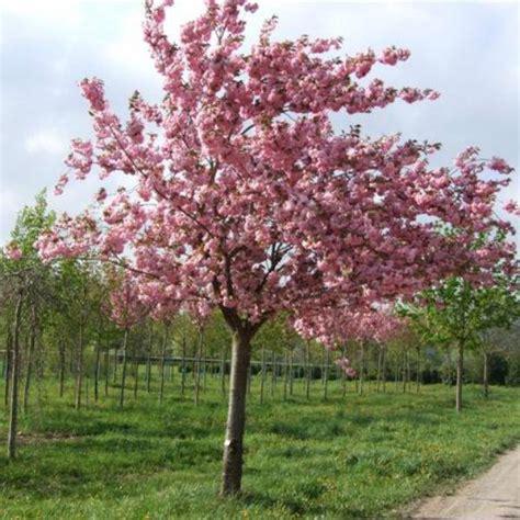 okrasna drevesnica žiher špur japonske češnje
