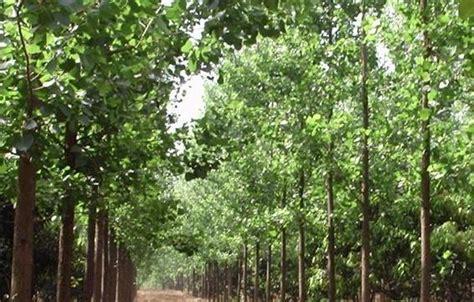 popular types of trees poplar tree farming information guide agrifarming in