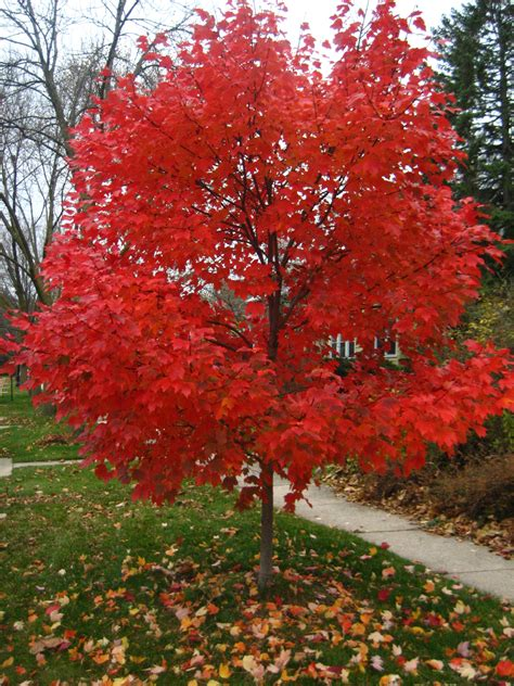 maple tree in fall crete replacement trees set for oct planting eastern will county news