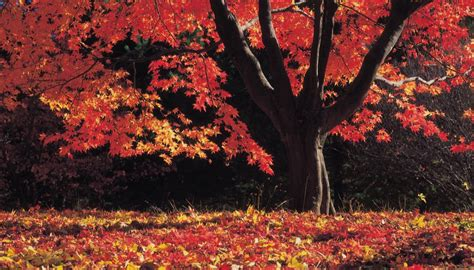maple tree facts maple tree facts sciencing