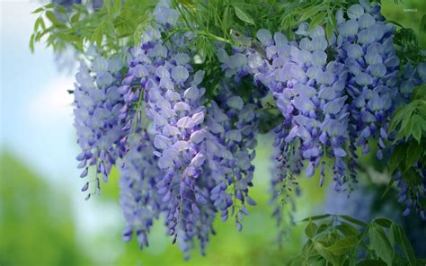 wisteria wallpaper hanging wisteria wallpaper flower wallpapers 52914