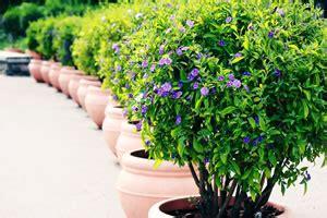 pflanze immergrün winterhart blühend winterharte k 252 belpflanzen und balkonpflanzen