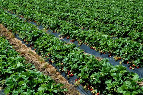 Garten Pflanzen Womit Düngen by Erdbeeren D 252 Ngen 187 Womit Wie Oft Und Wann