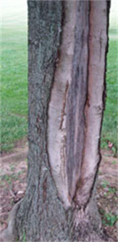 maple tree trunk splitting cracks maintenance landscape plants edward f gilman uf ifas
