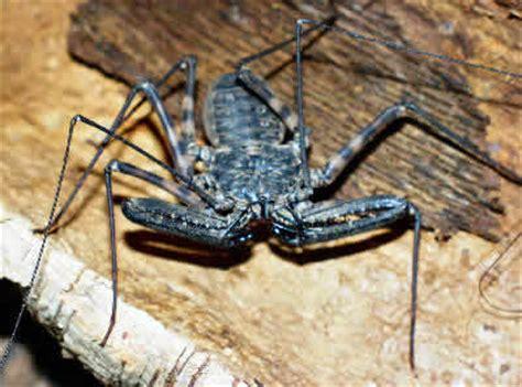 Garden Spider Hiss Whip Scorpion Master Meets Bug