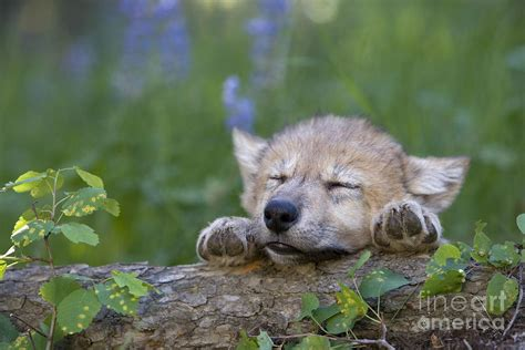 Home Decor Canvas Art sleepy wolf cub photograph by jean louis klein amp marie