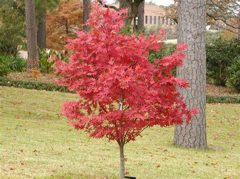 maple tree japanese japanese maples east gardening