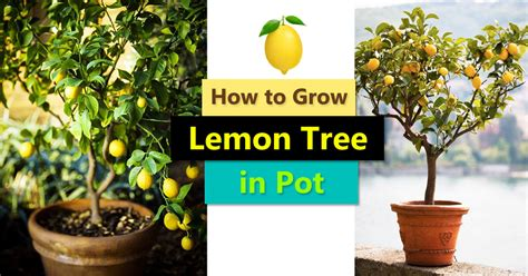 how to pot a tree how to grow a lemon tree in pot care and growing