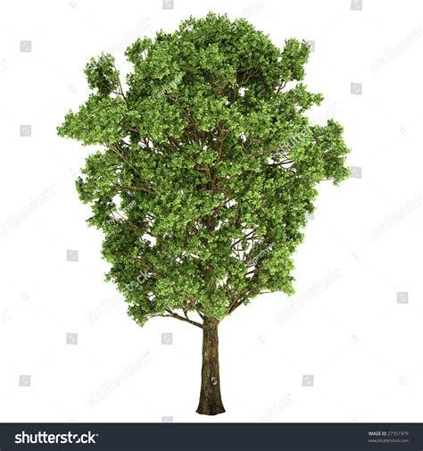 tree on white background oak tree isolated on white background stock illustration