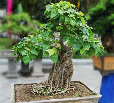 trees best 22 best trees for bonsai best bonsai plants balcony