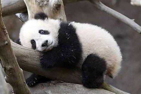 one panda 40 baby panda photos freakify