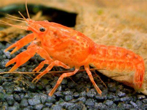 cambarellus patzcuarensis var orange cpo 233 levage