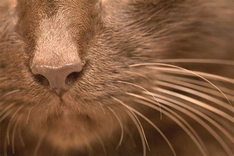 cat nose and whiskers the sixth sense your cat s whiskers and their importance