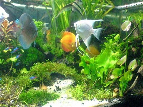 aquascape cupang hias jenis ikan untuk akuarium aquascape akuarium ikan hias