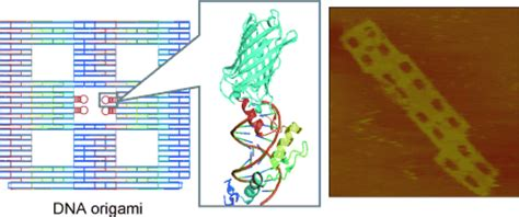 dna origami zinc finger proteins for site specific protein positioning