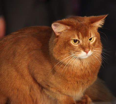 picture of a cat cat pictures somali cat