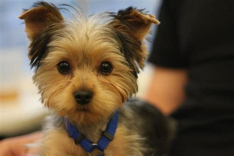 how to cut yorkie hair at home yorkie puppy cut google search dogs pinterest pets