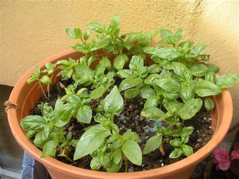 basilic comment repiquer des plants