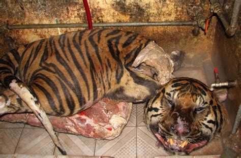 Movie Boy In Boat With Tiger by Dead Tigers Found In Boot Of Speeding Car In Vietnam