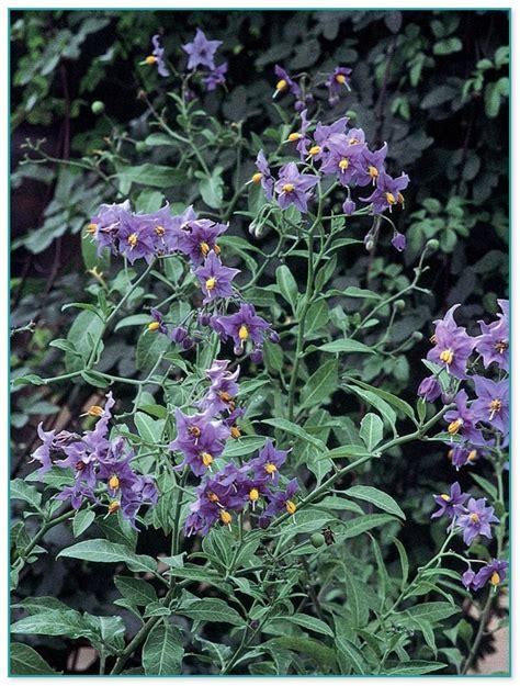 Climbing Flower Plant Bougainvillea 2