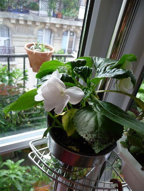 impatiens walleriana hybrides c 244 t 233 jardin