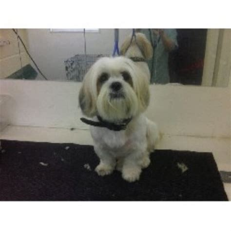lhasa apso breeders in the uk freedoglistings uk breeds picture