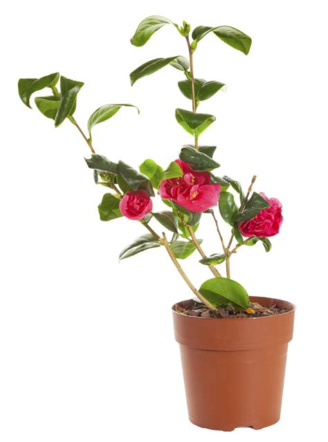 care for camellia in pots tips for growing camellias in containers