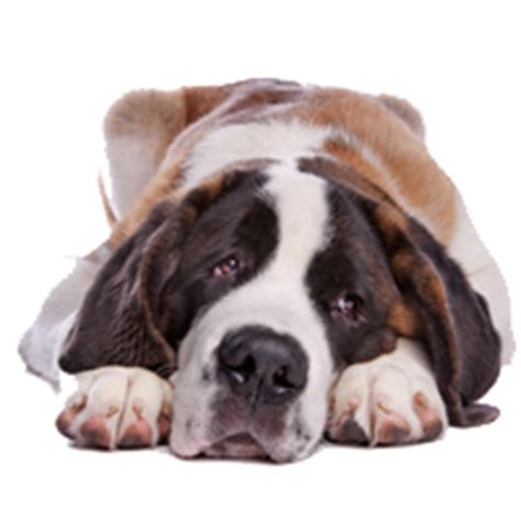 do st bernards shed how bad do st bernards shed advice from real st
