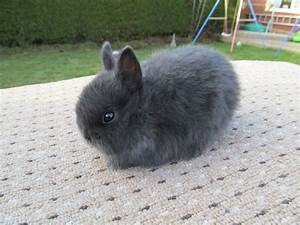 Blue Netherland Dwarf Rabbit - Pics about space