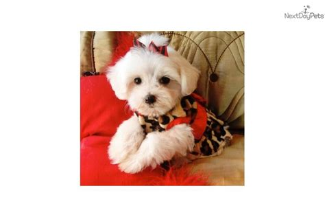 no shed small dogs malti poo maltipoo puppy for sale near texoma