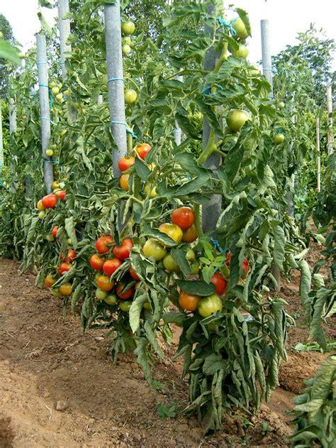 comment planter tomates