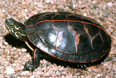 painted turtle scutes images