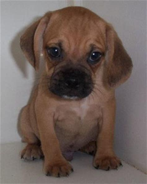 puggle puppyjpg breeds picture