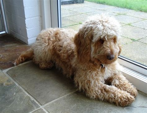 do cockapoos shed as puppies hypoallergenic the cockapoo club of gb