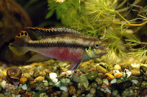 pelvicachromis kribensis freshwater aquarium f 882 hd desktop wallpaper free hd wallpapers