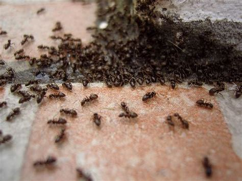 comment se d 233 barrasser des fourmis dans la maison sans produits chimiques astuces de grand m 232 re