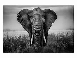 Tierbilder Schwarz Weiß : elefanten portrait online bei myposter bestellen ~ Markanthonyermac.com Haus und Dekorationen