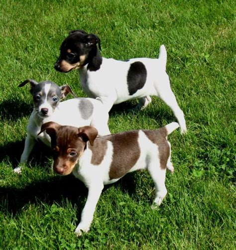 Rat Terrier Shedding Help by Rat Terrier Puppies Rat Terrier Puppies Rescue Pictures