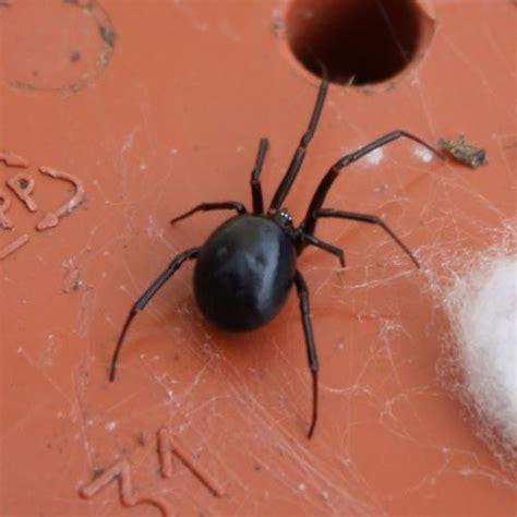 steatoda grossa araign 233 e le monde des insectes