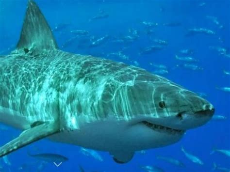Great White Shark Nursery Found South Of Cape Cod