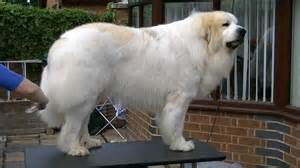 pyrenean mountain dogs great pyrenees penellcy troy funnydog tv