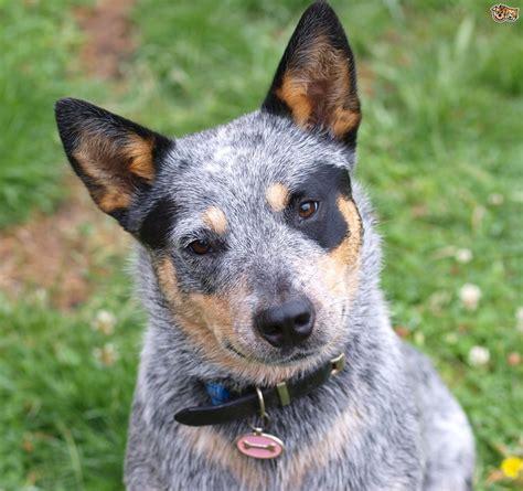 Stop Blue Heeler Shedding by Australian Cattle Blue Heeler Puppies For Sale