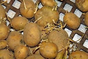 Kartoffeln Und Zwiebeln Lagern : warum keimen unsere lagerkartoffeln oder viel raum fuer weitere forschungsarbeiten meinerseits ~ Markanthonyermac.com Haus und Dekorationen