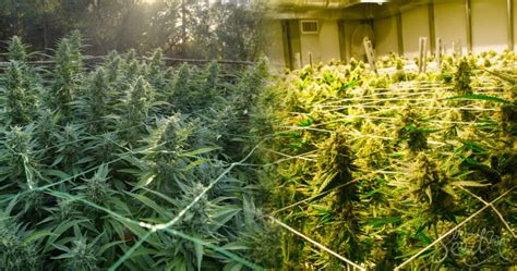 le cannabis en int 233 rieur ou ext 233 rieur que choisir