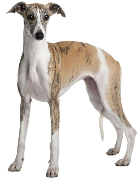 breed of the week the whippet vetsure